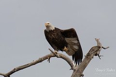 February 6, 2015 - A Bald Eagle in Thornton stretches before taking flight. (Tony's Takes)