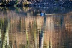 Hexenteich (Sylsine) Tags: ente spiegelung teich menden sauerland