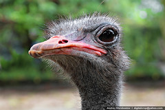 Emu close up (digitalcrop) Tags: wild portrait pet bird nature up animals closeup rural mouth hair neck fur outdoors nose funny looking close head farm wildlife australian beak feathers large australia aves anger ostrich messy shock emu chicks agriculture staring gaze curiosity blick avian ugliness furious feelings eater flightless concepts domesticated casuariidae