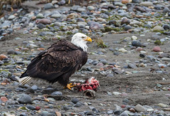 Bald Eagle (Peter Bangayan) Tags: