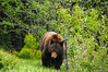 Yo bear! (Jeroenolthof.nl) Tags: road bear lake snow canada mountains ice landscape drive jeroen scenery jasper wildlife scenic columbia alberta parkway bow banff icefields icefield olthof jeroenolthofnl