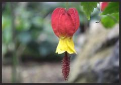 Abutilon (Amirtha :)) Tags: red flower yellow japan bell single hanging abutilon peninsula izu earlyspring megapotamicum nikon1j4