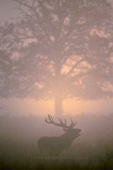 Richmond Park London (iesphotography) Tags: park wild tree london nature animal fauna sunrise canon stag wildlife richmond deer reddeer richmondpark rut naturephotography rutting wildlifephotography 1dx canon1dx