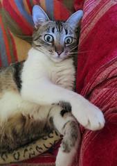 543-July'14 (Silvia Inacio) Tags: cats cat tabby gatos gata princesa