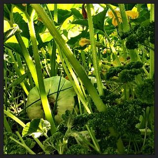059/365 • parsley and pumpkins • #059_2015 #latergram #housesitting #garden #pumpkin #parsley #goodmorning #autumn #green