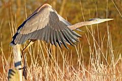 2015 Feb 28 Great Blue Heron 8742 (digitalmarbles) Tags: blue canada bird heron nature animal flying wings bc britishcolumbia wildlife flight blueheron waterfowl birder greatblueheron ardeaherodias lowermainland deltabc birdphoto