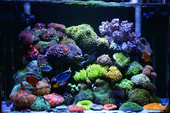 My Reef Tank (1st, Mar, 2015) ( ) Tags: fish coral aquarium marin reef saltwater