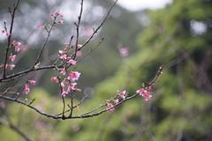 Sakura in Tai Mo Shan (ha3633) Tags: march sony mo tai munchen shan heinz f35 2015 150mm a7r kilfitt