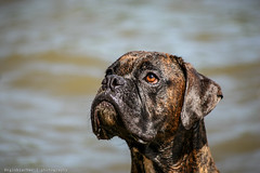 Quiet Waters Park - Archive - XXI (RGL_Photography) Tags: unitedstates canon20d maryland boxer annapolis dogbeach quietwaterspark itsadogslife tamronaf70300mmf4056dildmacrozoom southriverandharnesscreek