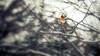 Cardinal Bird (Cyrielle Beaubois) Tags: morning winter canada bird birds female rouge cardinal hiver québec oiseau victoriaville 2015 canonef70200mmf40lusm canoneos5dmarkii cyriellebeaubois saintchristophedarthabaska