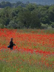 A la recherche du bon angle ** (Titole) Tags: field photographer poppies photographe friendlychallenges thechallengefactory titole nicolefaton
