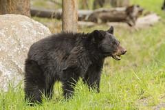 Grass fed bear {Explored} (ChicagoBob46) Tags: blackbear bear yellowstone yellowstonenationalpark nature wildlife explore explored