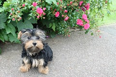 Flo The Yorkie Poo Puppy at Cutts Close Oakham Rutland (3) (@oakhamuk) Tags: puppy rutland oakham flo yorkiepoo martinbrookes
