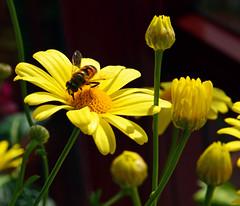 9844 Gelbe Margeriten.  Yellow daisies. (Fotomouse) Tags: fotomouse flickr blume flower blumen flowers blüten blossoms blüte blossom natur nature gelb yellow margeriten outdoor draussen planze plant schwebefliege pflanze hoverfly makro macro