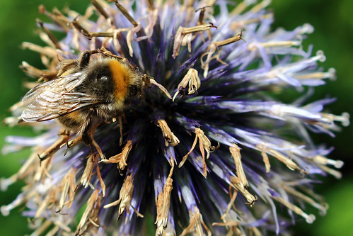 "Hummel auf Kugeldistelblüte (02) • <a style=""font-size:0.8em;"" href=""http://www.flickr.com/photos/69570948@N04/28180792504/"" target=""_blank"">View on Flickr</a>"