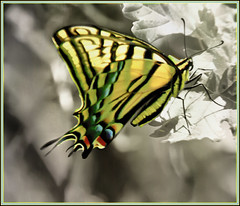 Safe Landing (Karen McQuilkin) Tags: nature butterfly insect utah flight swallowtail selectivecolor safelanding karenmcquilkin