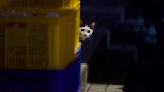 DSC05844 - Version 2 (C*A(t)) Tags: cat straycat taiwan taipei taipets sony a7s