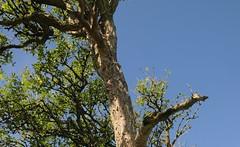 An der Alten Eisenbahnbrcke ber die Treene - Alter Holunder (Sambucus nigra); Norderstapel, Stapelholm (2) (Chironius) Tags: stapelholm norderstapel schleswigholstein deutschland germany allemagne alemania germania    ogie pomie szlezwigholsztyn niemcy pomienie asterids campanuliids kardenartige dipsacales moschuskrautgewchse adoxaceae holunder sambucus baum bume tree trees arbre  rbol arbres  rboles albero  rvore aa boom trd borke rinde ladrido corce corteccia schors  hout bois holz wood legno madera landschaft