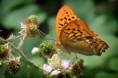 butterfly (Fotogezwitscher) Tags: butterfly feeding berry flower blackberry insect beautiful macro forrest orange green