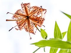Lys tigr (Paul Leb) Tags: fleur lystigr flower flor doublefantasy