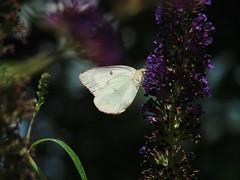 White Form Sulphur (mcnod) Tags: mcnod butterfly whiteformsulphur sulphur elkridge july 2016