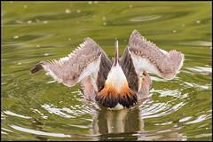 Great Crested Grebe Yoga (John R Chandler) Tags: uk bird animal unitedkingdom places coventry westmidlands warwickshire grebe greatcrestedgrebe brandonmarsh warwickshirewildlifetrust