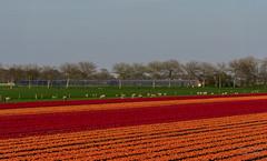 ND5_2040_Lr-edit (Alex-de-Haas) Tags: bloemenbijeenkomst dutch holland lowcountries nederland noordholland thenetherlands westfrieseomringdijk avond beautiful bloemen bloemenvelden colorful colors colourful colours evening flat flower flowerfields kleuren kleurrijk laagland landscape landschap lente licht light mooi nature natuur plat polder spring sun sunny tulipfields tulipa tulips tulpen tulpenvelden westfriesedijk zon zonnig