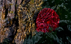 Underwater Abstract (jrussell.1916) Tags: red abstract water reflections log lakes illuminated lilypads canonef70200f4lis14tc