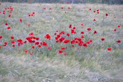 Roselles ii (ea5dfv) Tags: papaver roselles amapolas red