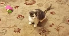 Posey my sisters cat. via http://ift.tt/29KELz0 (dozhub) Tags: cat kitty kitten cute funny aww adorable cats