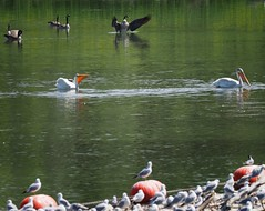 JH162593 sharing the river (geelog) Tags: pelicans bowriver park weir canadagoose gulls