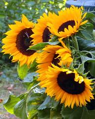 gniazdowo sunflowers (kexi) Tags: yellow flowers vertical sunflowers garden samsung wb690 poland polska july 2015 green brown instantfave