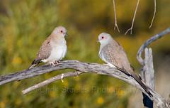 Diamond Doves (chrissteeles) Tags: diamonddove dove bird birding wellacreek birdsvilletrack southaustralia sa outback