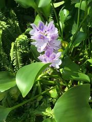 ホテイアオイ Eichhornia crassipes (eyawlk60) Tags: ホテイアオイ 花 夏 紫 eichhorniacrassipes waterplant purple flower iphone iphone6 waterhyacinth ウォーターヒヤシンス beautiful