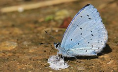 Holly Blue - Martin Down reserve Hampshire - 060816 (3) (ailognom2005-Catching up slowly.) Tags: martindownnnr hampshire naturereserves reserve butterflies butterfliesmothsandcaterpillars uk macro hollyblue