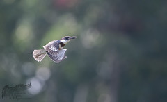 The Elusive Belted Kingfisher 8_26 (krisinct- Thanks for 12 Million views!) Tags: nikon d500 500 f4 vrg