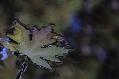 Big leaf Maple - MuirWood (Peggi Siew Lee) Tags: maple leaf landscape redwood shadow light colorful wate reflection