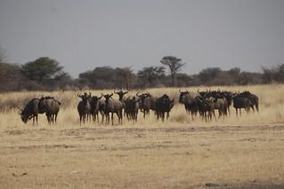 Namibia Plainsgame Hunt - Kalahari Desert 11