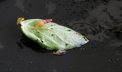 Awl Snail on basil (axollot) Tags: awlsnail awl snail axollot sandyaurienesullivan compost wormassistants florida invasive nature local northeast vermiculture
