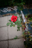 Dimension (H.H. Mahal Alysheba) Tags: flower wide snapshot rose red nikon d800 carlzeiss zeiss distagon 28mmf2