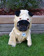 Pug In A Pug Costume (DaPuglet) Tags: pug costume halloween puppy lol puginapug pugs dog dogs animal animals pets funny cute pugcostume pet puppies meme coth5 coth alittlebeauty