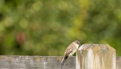 7K8A1986 (rpealit) Tags: scenery wildlife nature kittatinny valley state park eastern phoebe bird