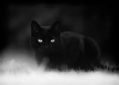 'Black Henri' (Jonathan Casey) Tags: black cat blackandwhite white glow portrait nikon 200mm f2 d810