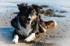 Yatzy (Flemming Andersen) Tags: water dog yatzy outdoor border colli seaside hund animal bordercolli hurupthy northdenmarkregion denmark dk