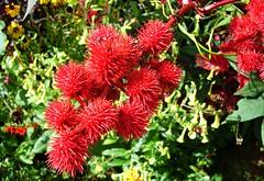 qui s'y frotte s'y pique :-( (jeanpierrefrey) Tags: fleurs jardindelapaix bitche moselle ricin