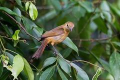 ItamambucaJan2012-647 (Luiz Baroni Junior) Tags: 2012 ano aves cidade itamambuca itamambucaecoresort lugares sopaulo tigalolaniocristatus ubatuba riodejneiro