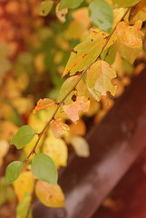 rain4 (obsequies) Tags: autumn fall harvest leaves bokeh colours colors canada manitoba forest mori trees shrubs colorful colourful love whimsy whimsical macro seasons change changing leaf patchwork rain magic magical home country chic cottage