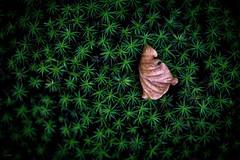 Sorte_ed_indifferenza (Danilo Mazzanti) Tags: danilo danilomazzanti mazzanti wwwdanilomazzantiit fotografia foto fotografo photos photography colori foglia autunno composizione minimal minimalismo