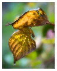 Cornus leaves _ 2 (leo.roos) Tags: leaf blad leaves bladeren autumn herfst fall oktoberfest2016 challenge dyxum soft glowing ethereal dreamy velvety lensbabyvelvet5616 emount a7 darosa leoroos