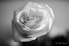 BW White Rose-1000 (Orkakorak) Tags: roses whit red bw